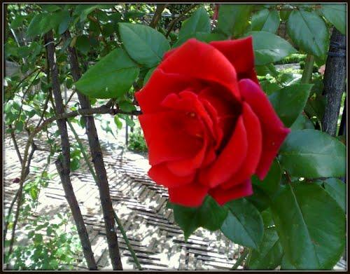 Роза Principe de Anglona