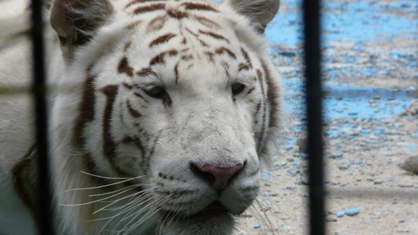 Белый тигр в зоопарке Севильи